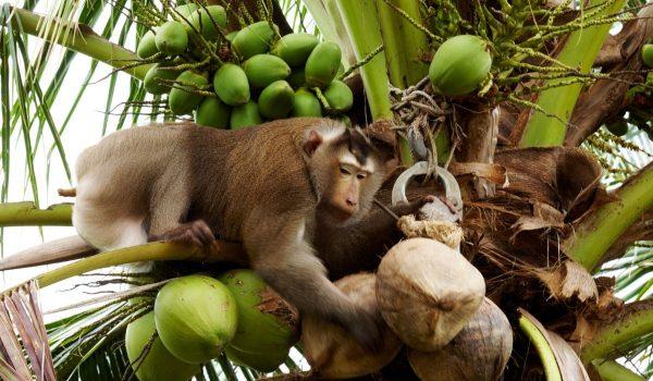 Retiran de aparadores leche de cocos presuntamente cosechados por changos